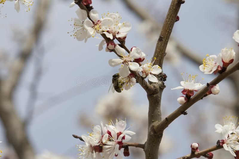 Bee on fruit tree flower with white petals royalty free stock image