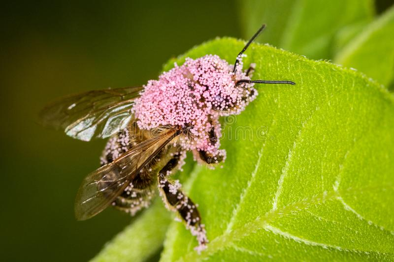A bee full of pink pollen sitting on a green leaf - macro shot stock images