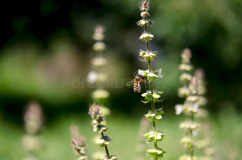 A bee in the garden collects nectar from the flowers of green basil stock photos