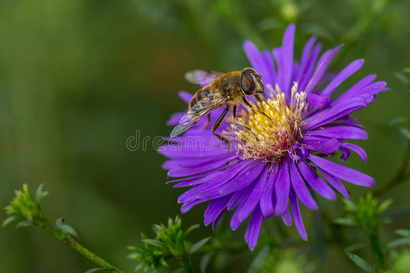 Bee on a garden flower. A bee on a garden flower royalty free stock image