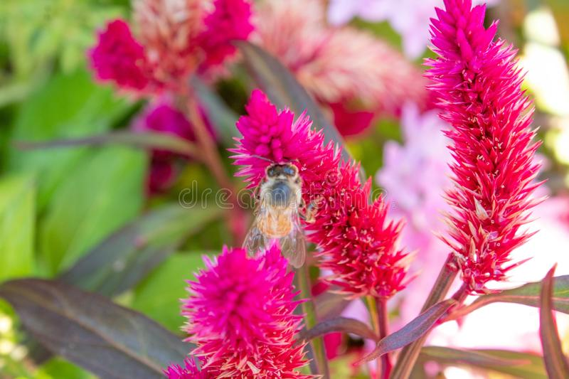 Bee gathering pollen from a bright pink flower. In the afternoon sunlight royalty free stock photos