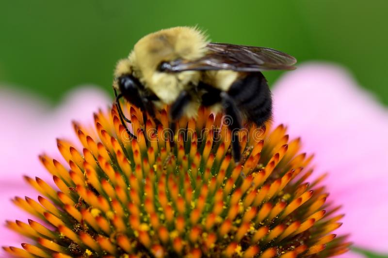 Bee gathering pollen and nectar stock photography