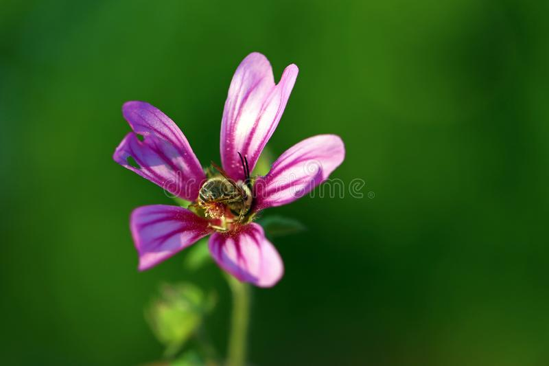 Bee on purple flower. A bee gathering pollen and nectar from a purple flower royalty free stock image