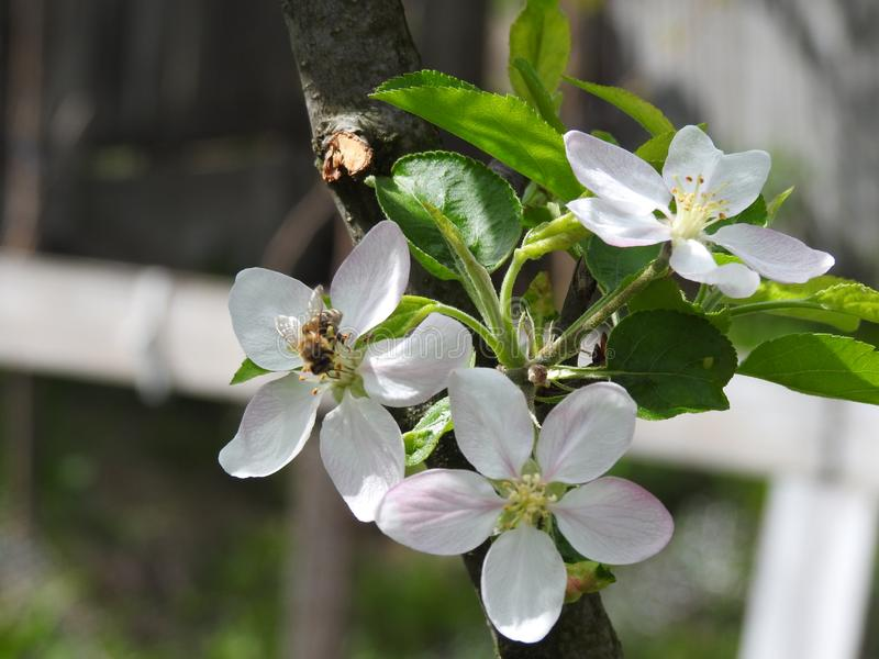 A bee gathers pollen from an apple flower. royalty free stock image