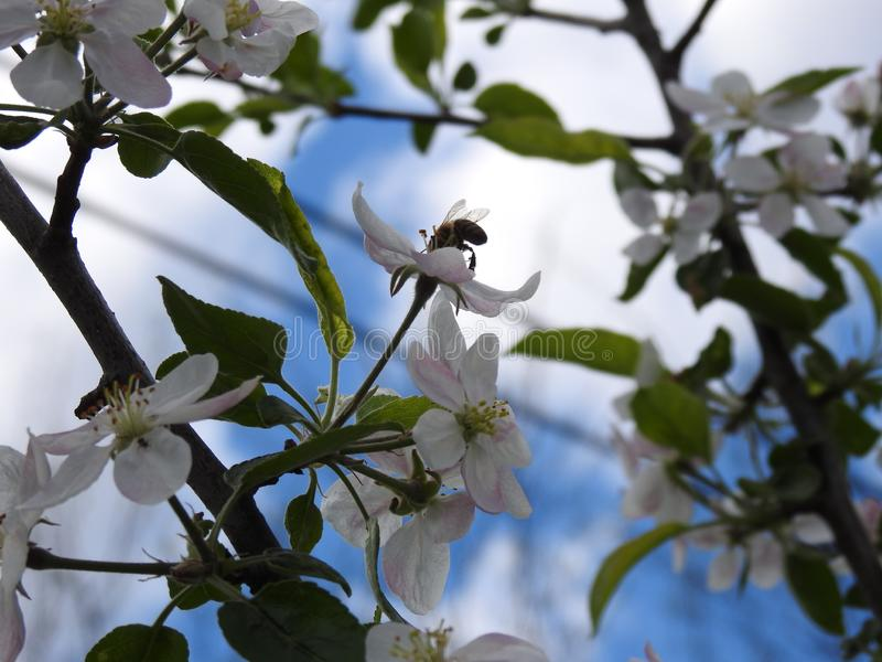 A bee gathers pollen from an apple flower. royalty free stock photography