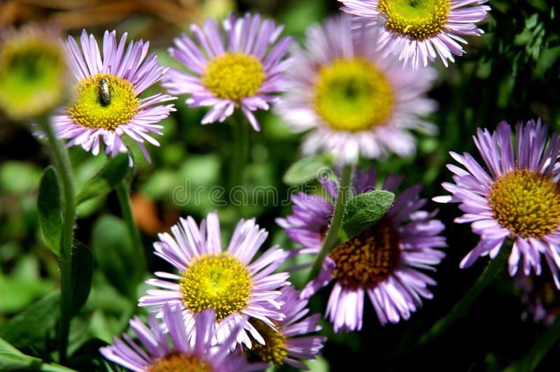 Bee on purple flowers stock photos