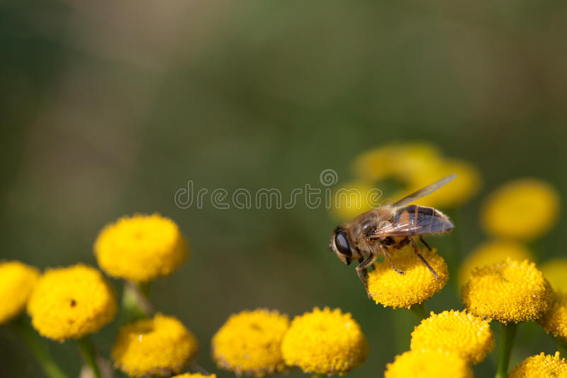 Bee stock image