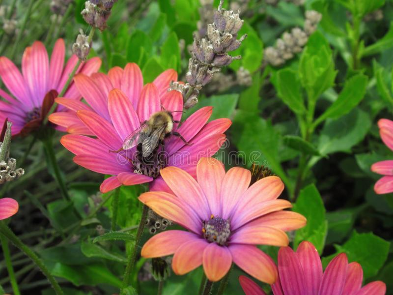 Bee On Gorgeous Bright Pink African Daisy Flowers At Stanley Park Perennial Garden, British Columbia. In August 2019 royalty free stock images