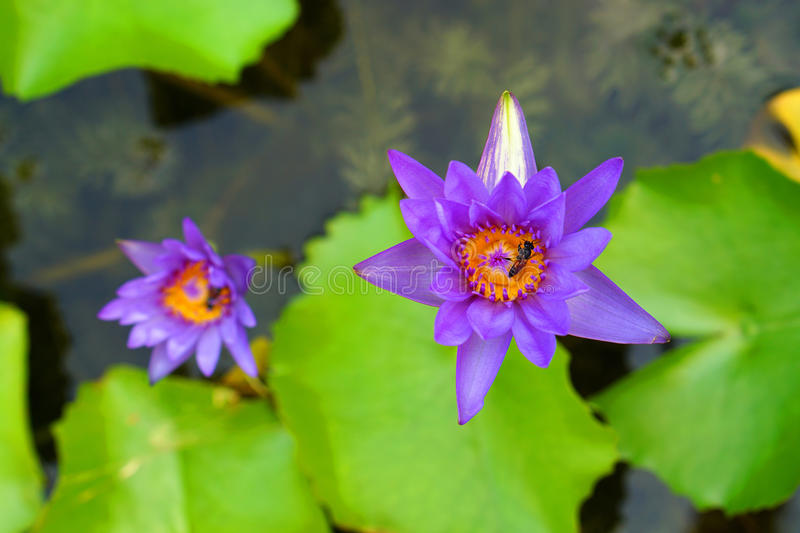 Bee habit with naural purple lotus royalty free stock photography