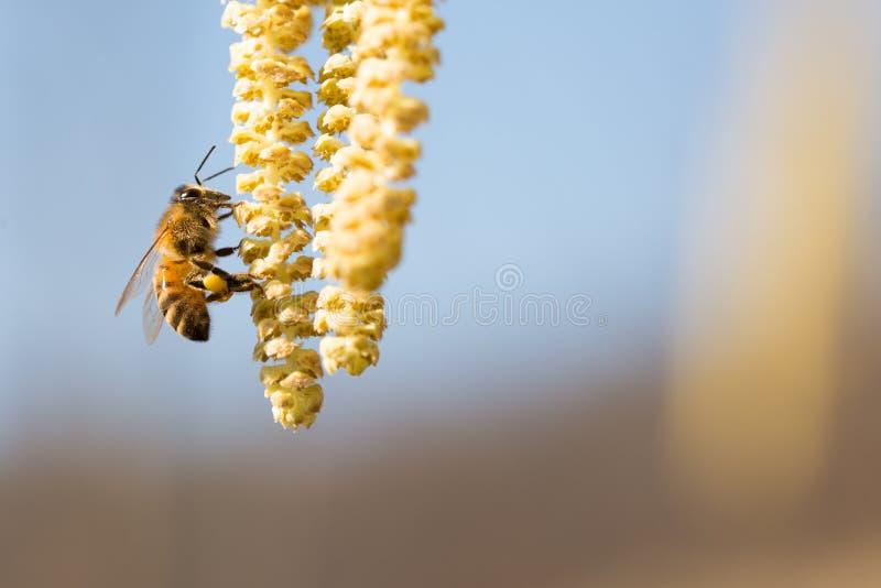 Bee on hazel plant. Bee collect pollen on hazel plant,Corylus royalty free stock photography