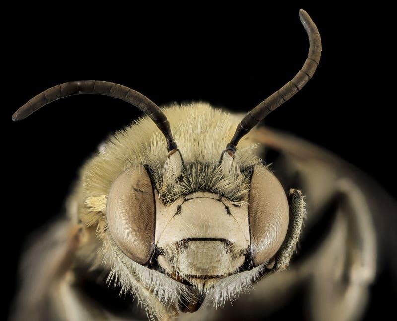 Bee Head royalty free stock photos