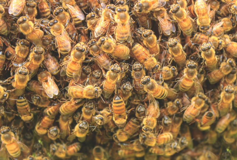 Bee Hive. Or bees on honeycells royalty free stock image