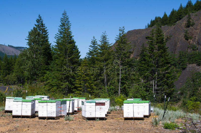 Bee hives. Bees working from a bee yard full of bee hives stock image