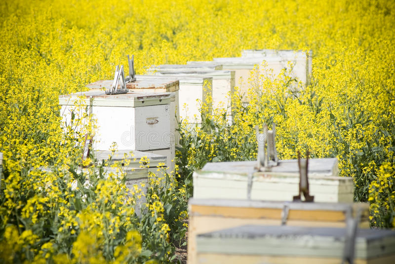 Bee Hives in Canola. Bee hives in bright yellow canola fields royalty free stock photography