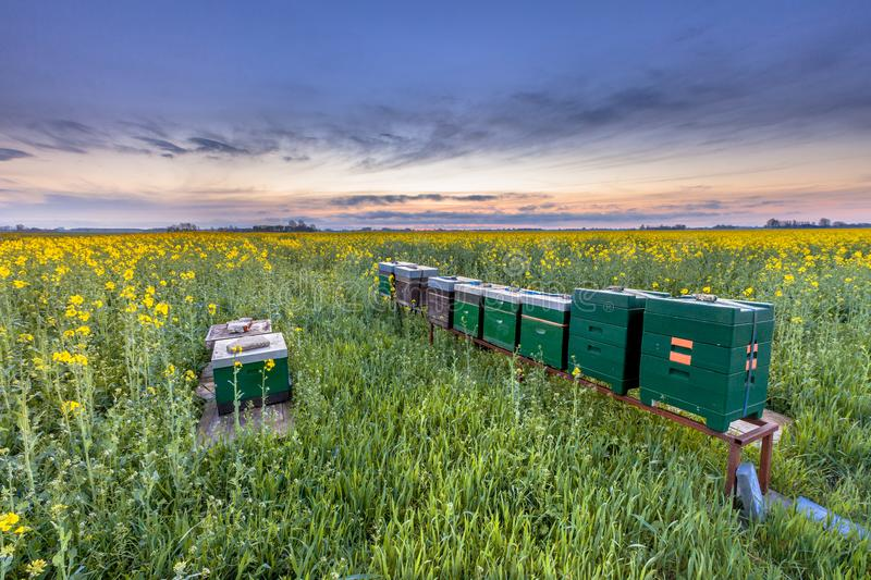 Beehives in a rapeseed field royalty free stock images