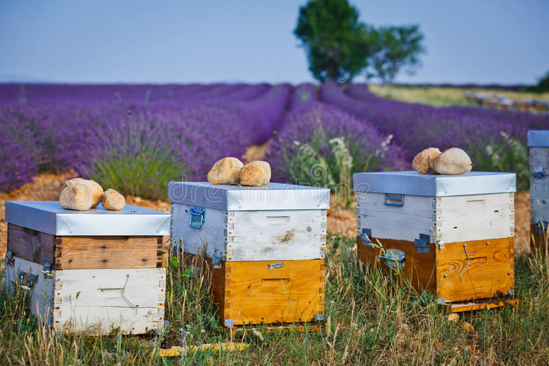 Bee hives on lavender fields royalty free stock photo