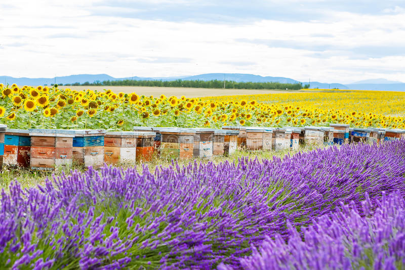 Bee hives on lavender fields, near Valensole, Provence. Bee hives on lavender and sunflower fields, near Valensole, Provence. France. Famous, popular royalty free stock image