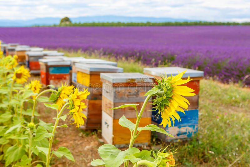 Bee hives on lavender fields, near Valensole, Provence. stock photos