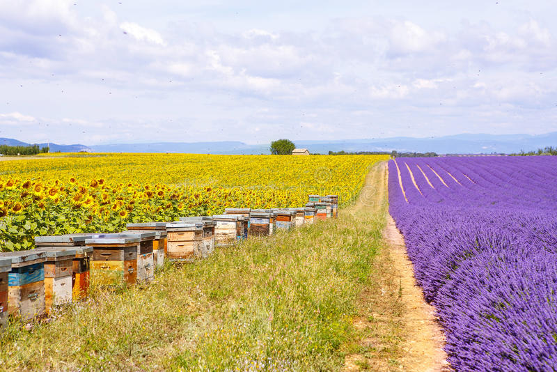 Bee hives on lavender fields, near Valensole, Provence. royalty free stock photos
