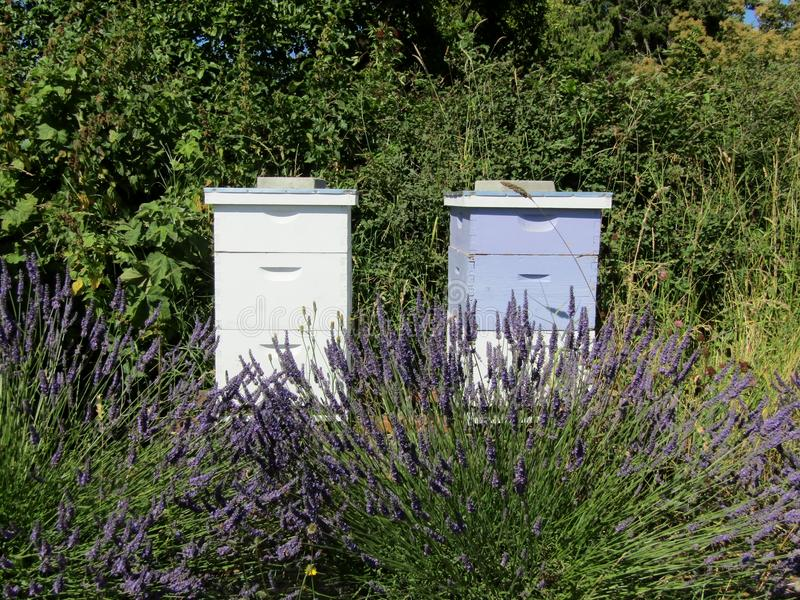Bee hives on lavender field. royalty free stock photos