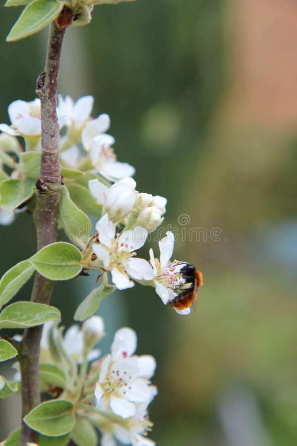 Bee, Honey Bee, Blossom, Insect stock photography