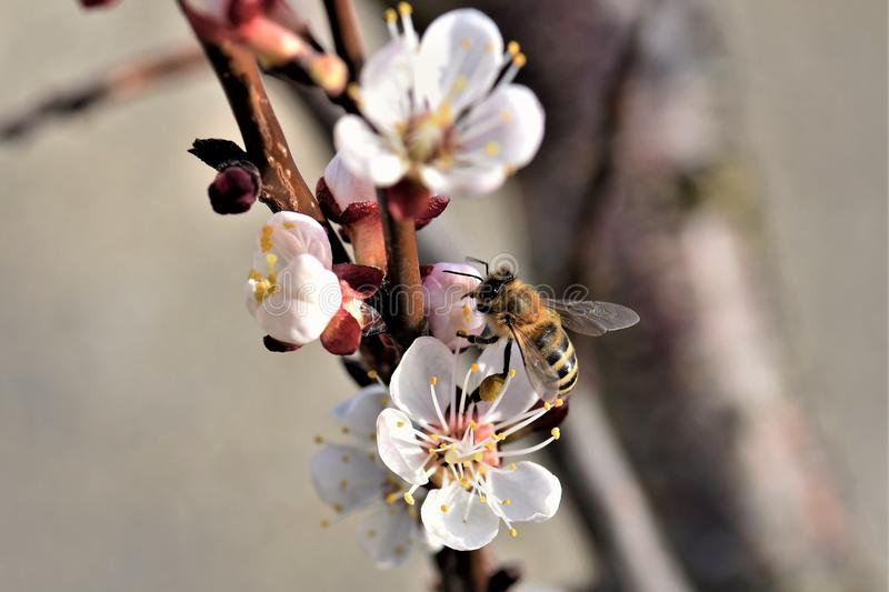 Bee, Honey Bee, Blossom, Insect stock image