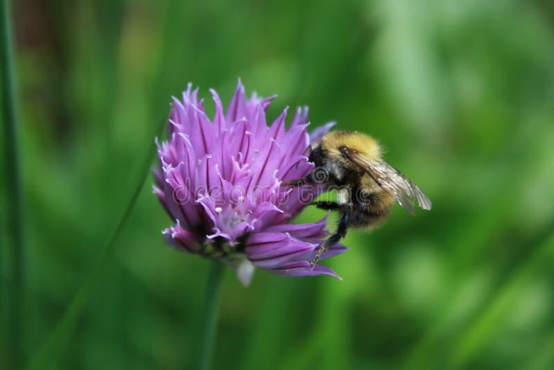 Bee, Honey Bee, Flower, Purple royalty free stock photos