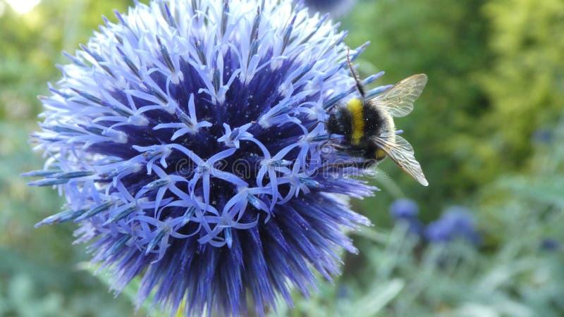 Bee, Honey Bee, Pollen, Purple royalty free stock photos