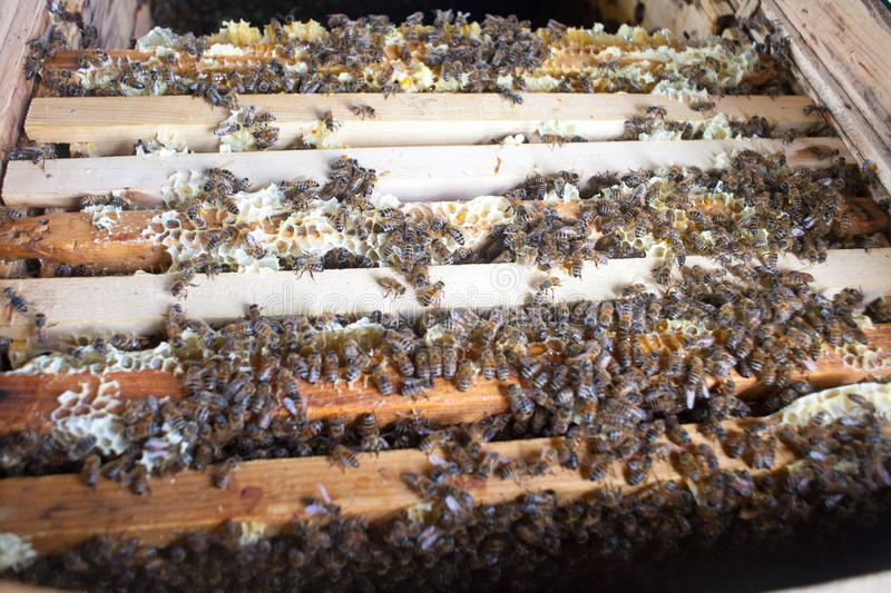 Bee honeycombs of honey. Bee honeycombs of wax in a wooden frame of a beehive full of delicious yellow May honey flower sealed with wax with a bunch of bees royalty free stock photography