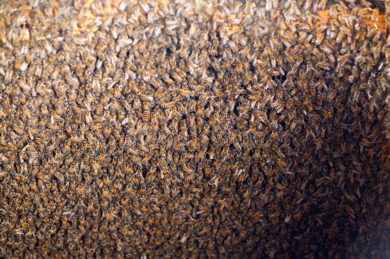 Bee honeycombs of honey. Bee honeycombs of wax in a wooden frame of a beehive full of delicious yellow May honey flower sealed with wax with a bunch of bees stock images