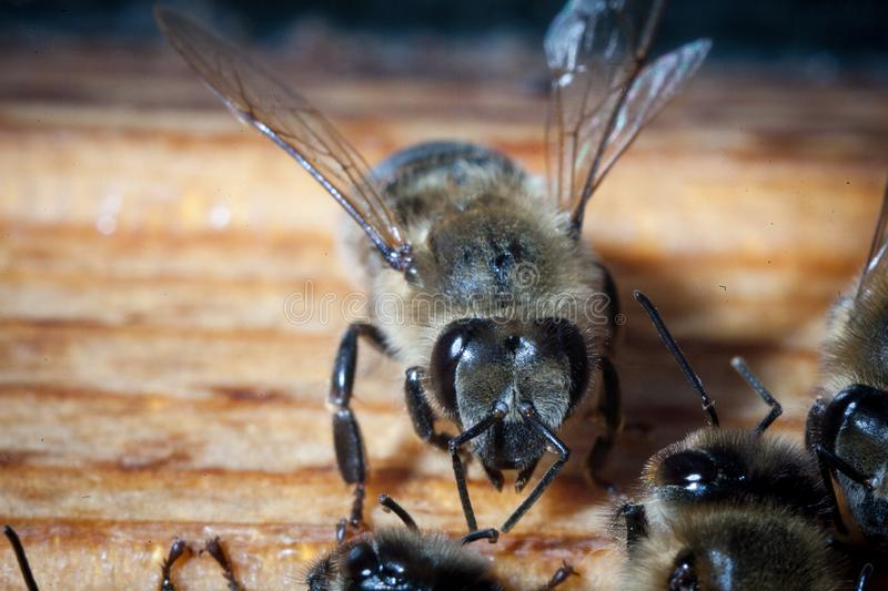 Bee honeycombs of honey. Bee honeycombs of wax in a wooden frame of a beehive full of delicious yellow May honey flower sealed with wax with a bunch of bees stock photo