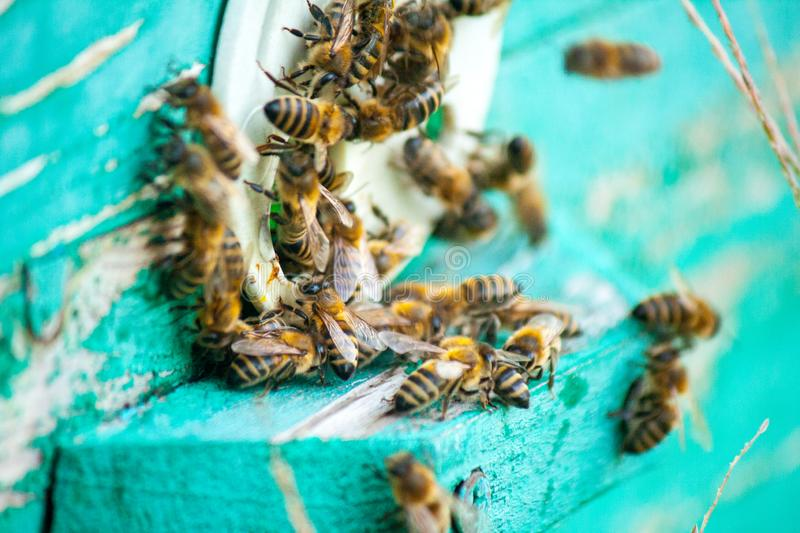 Bee honeycombs of honey. Bee honeycombs of wax in a wooden frame of a beehive full of delicious yellow May honey flower sealed with wax with a bunch of bees stock photography