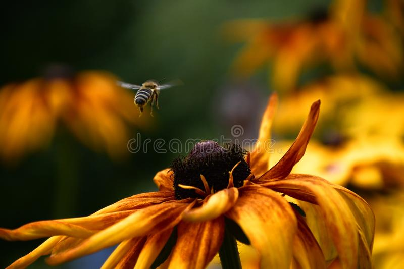 Bee hovering above yellow flower. Shoot at summer close up royalty free stock image