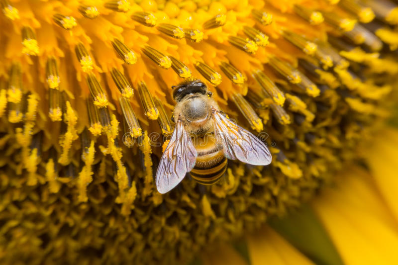 A Bee hovering while collecting pollen from sunflower blossom. Hairs on Bee are covered in yellow pollen as are it's legs. Close. A Bee hovering while collecting royalty free stock photo