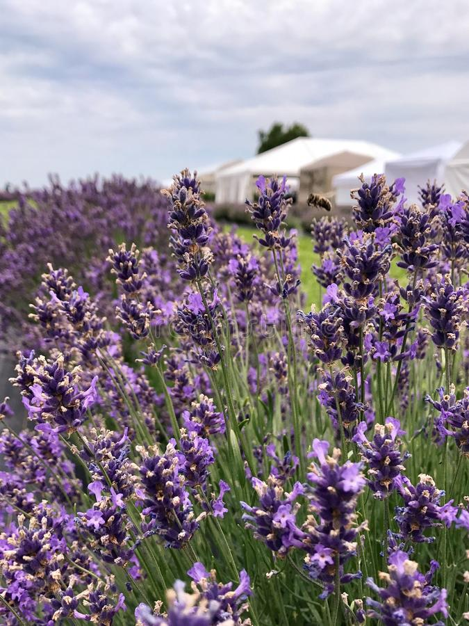 Bee Hovering in a Lavender Field stock photography