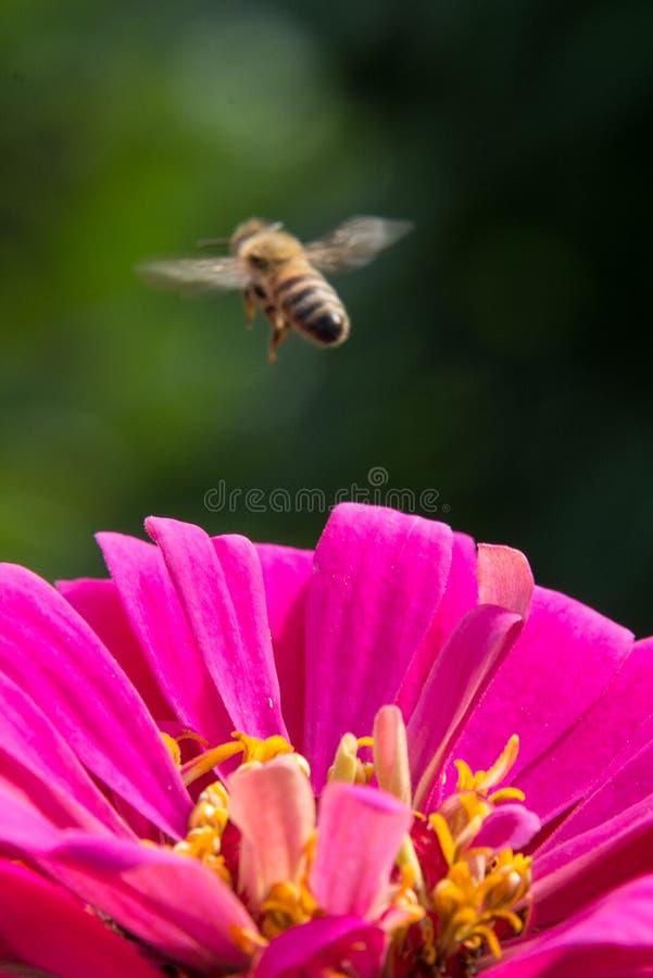 Bee hovering over pink flower. Honey bee hovering over pink flower royalty free stock photos