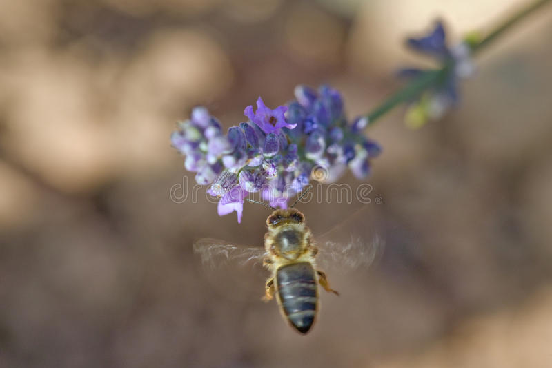 Bee Hovering By Purple Flower. Selective focus close-up of a honeybee hovering by a lavender flower. Horizontal shot stock images