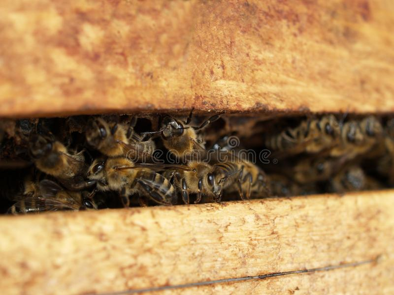 Bee inside a Beehive royalty free stock photos