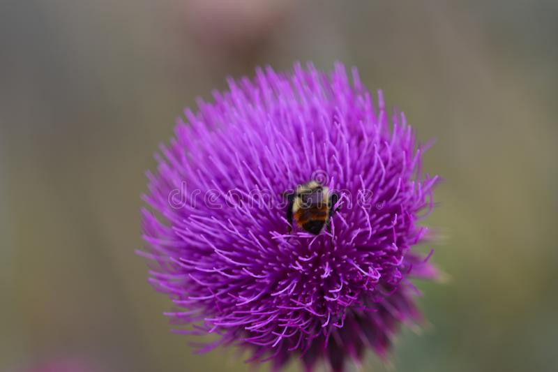Bee inside a purple flower royalty free stock photography