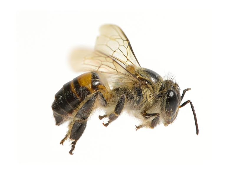 A Bee isolated on the white background royalty free stock images