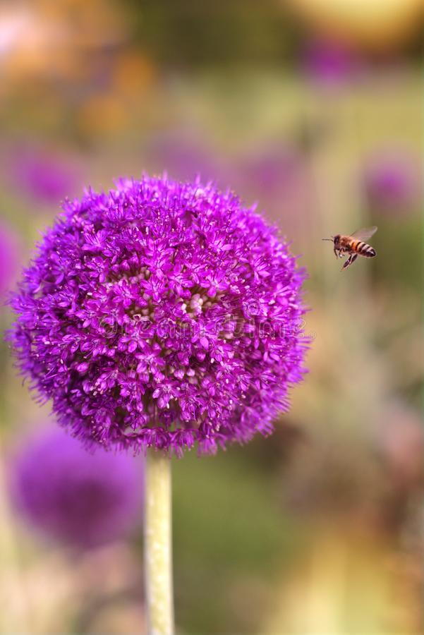Bee landing on a Violet Onion flower. Ornamental honey. Seeds fly out of the flowers, and the bee sucks the flowers and makes honey. Closeup of full circular royalty free stock photos