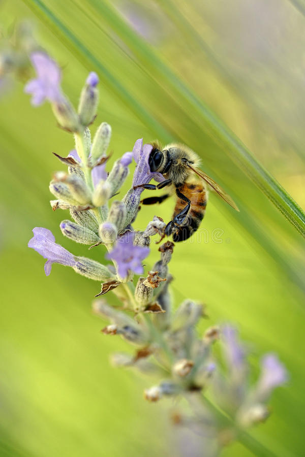 Bee on lavender stock photo