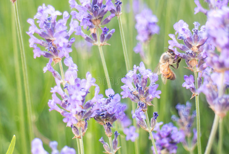 Bee on lavender flower. In full bloom royalty free stock photo