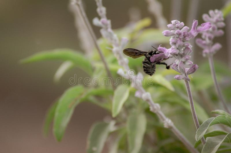 Bee in lavender flowers. Bee insect in lavender flowers green and purple flower at the park , outdoor garden nature blossom calm and relaxing air at summer stock photo