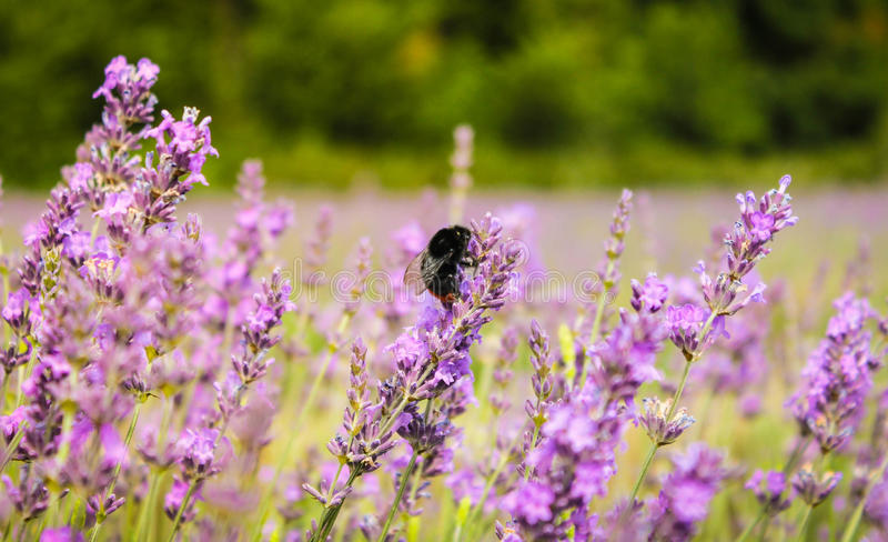 Bee on Lavender, Mayfield Lavender Farm, UK royalty free stock image
