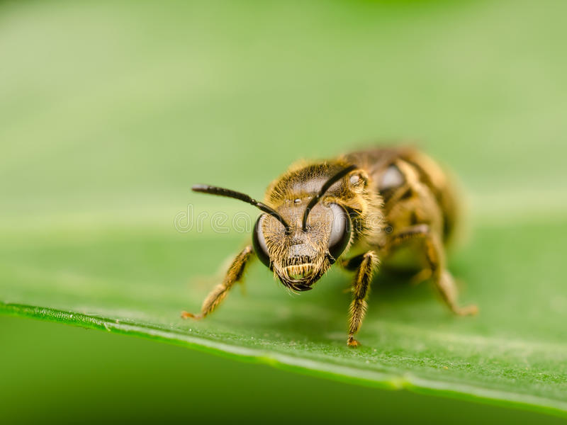 Bee On A Leaf Macro Royalty Free Stock Photos