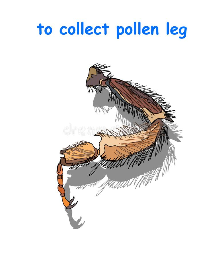 Bee leg to collect pollen isolated on white background. Vector illustration royalty free illustration