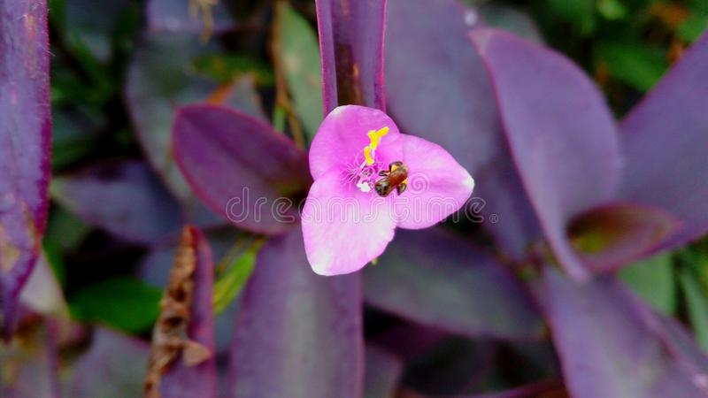 Pink Flower with Bee stock photos
