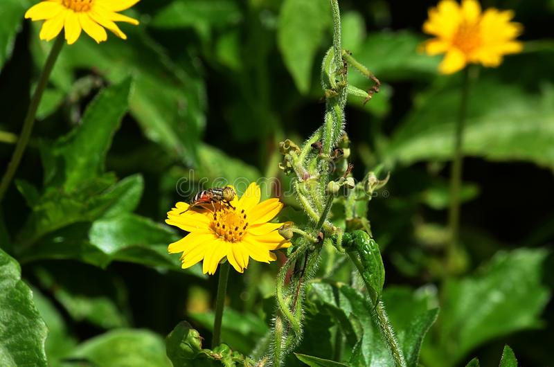 Bee-like fly collecting nectar and pollinating a yellow wildflower in Thailand royalty free stock photo