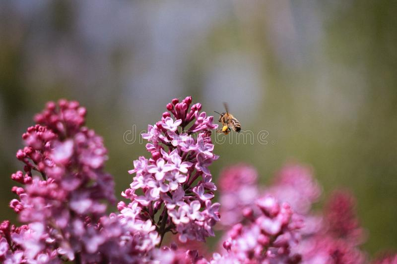 Bee on a lilac. Bee working on a colorful lilac. Sunny summer royalty free stock photos